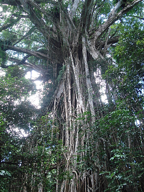 The amazing Cathedral Fig Tree