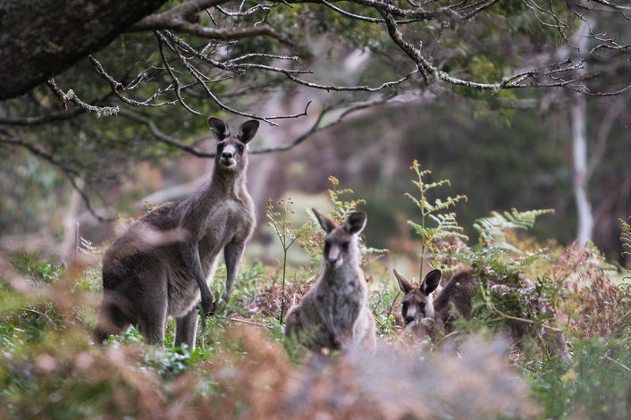 Blue Mountains - Kangaroos in the wild, Destination NSW