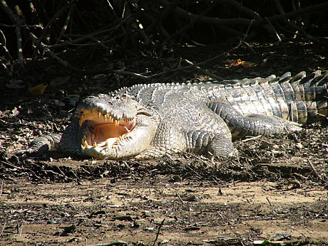 Daintree River Croc