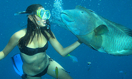 Snorkel with Marvin the Maori Wrasse