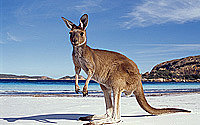 Local Kangaroo