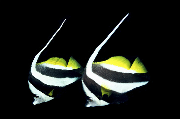 Angel Fish at night
