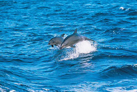 See pods of dolphins at Nelson Bay