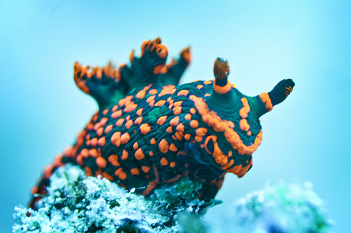 Sea cucumbers come in all kinds of colours