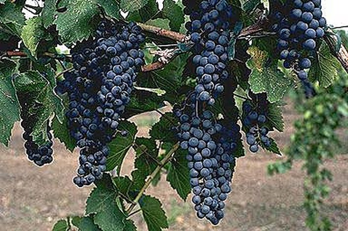 Grape-laden Vines