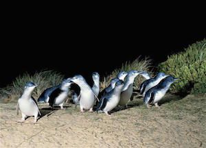 MEL Destination Penguin Island Eco Tour 5642