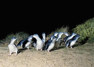 penguins coming up the beach