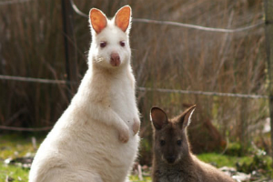White Bennett's Wallaby