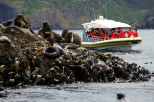 Eco-Boat near seals on rocks at Bruny Island