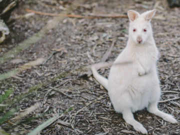 Bennett's White Wallaby Bruny Island