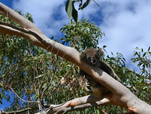 Koala sleeping in fork of tree