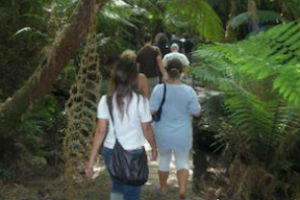 Walking among tree ferns