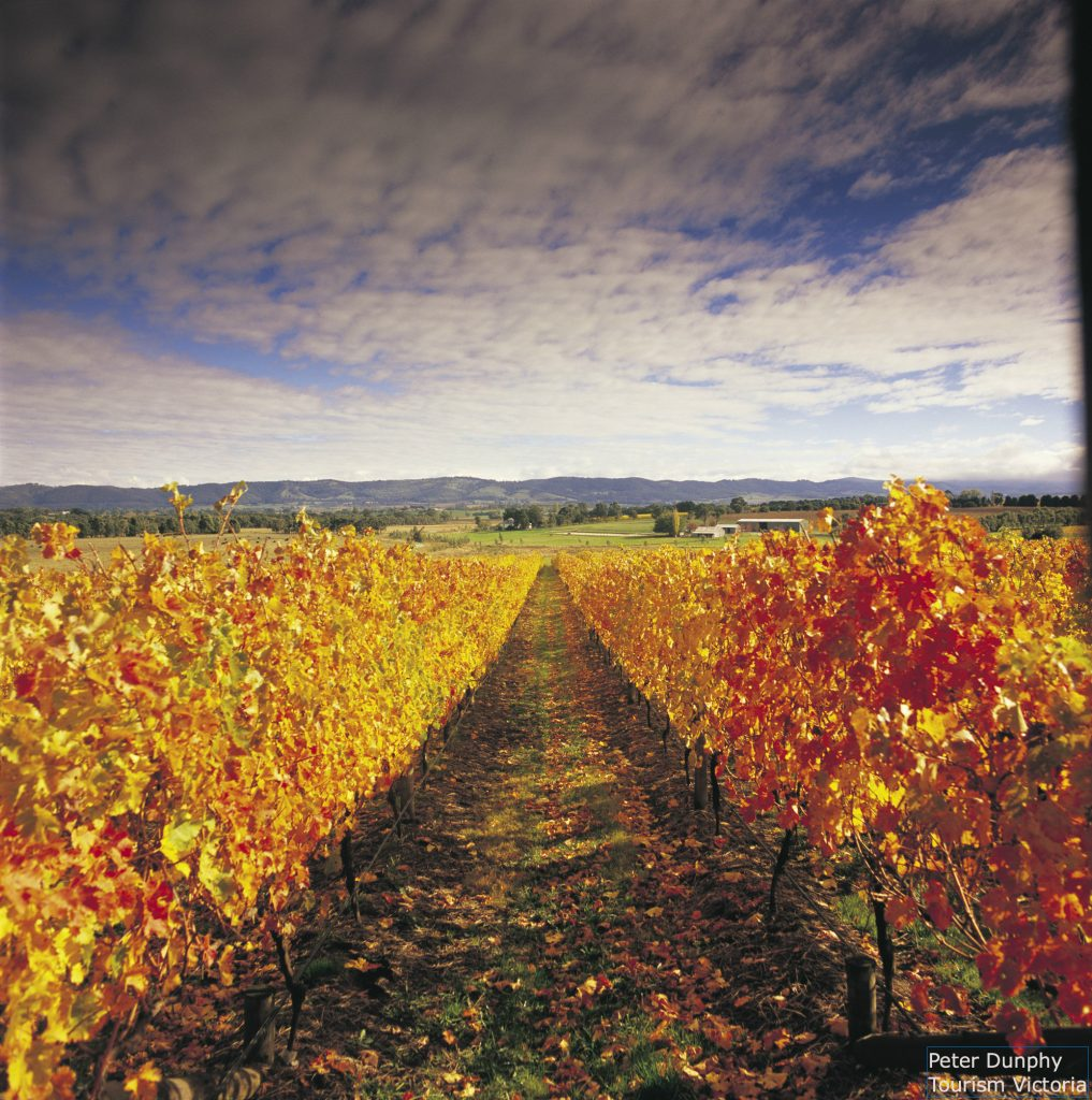 the golden leaves of Yarra Valley grape vines in autumn