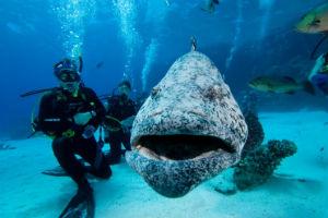 Scuba diver with Potato Cod