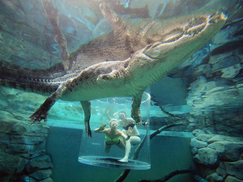 Two swimmers in a tank with a crocodile