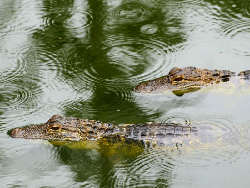 Two juvenile crocs swimming in the rain