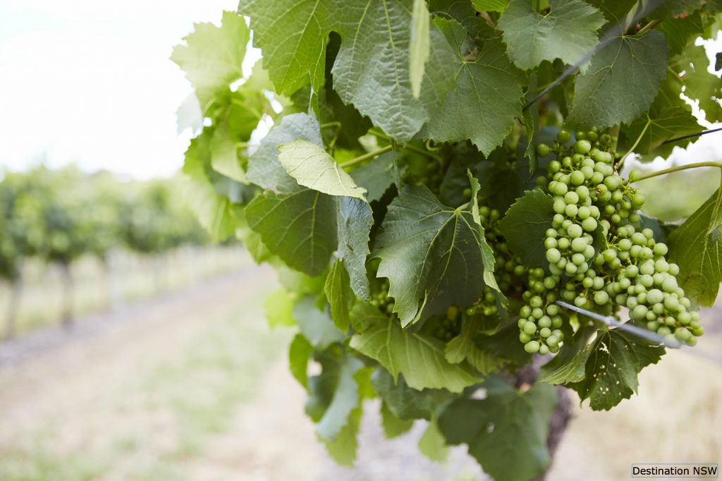White grapes hanging on a vine in the Hunter Valley Wine region