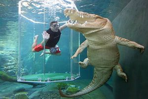Swimming with a crocodile