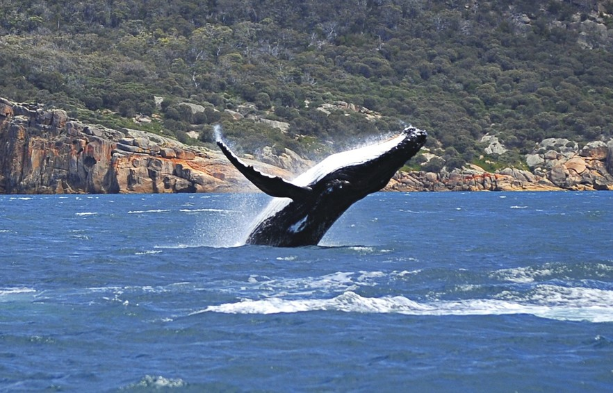 Whale breaching near the coastline