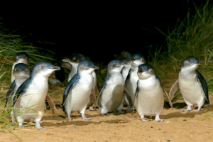 Fairy Penguins at Phillip Island victoria