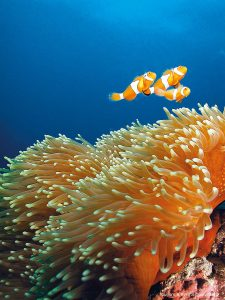 Orange clownfish swimming in coral