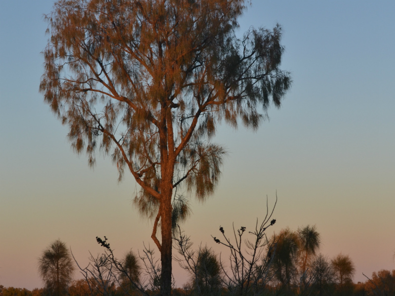 Central Australian tree in the morning