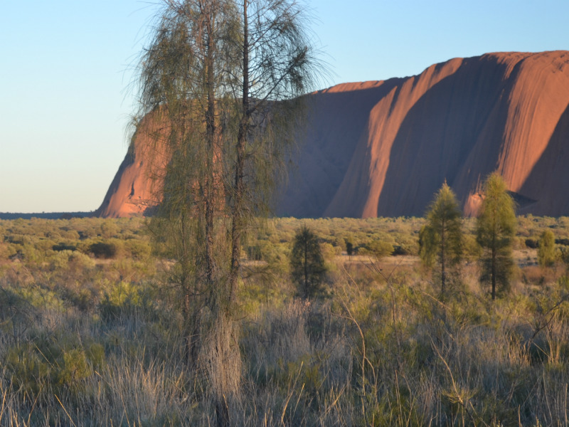 the edge of Uluru and a tree