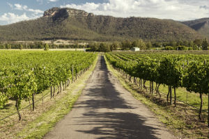 looking down a row of grape vines in the Hunter Valley