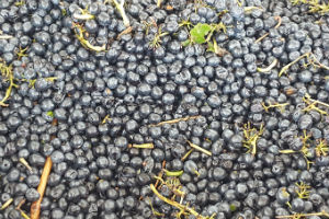 A vat of Hunter Valley Shiraz grapes