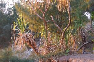 Pandanus plant near Darwin foreshore